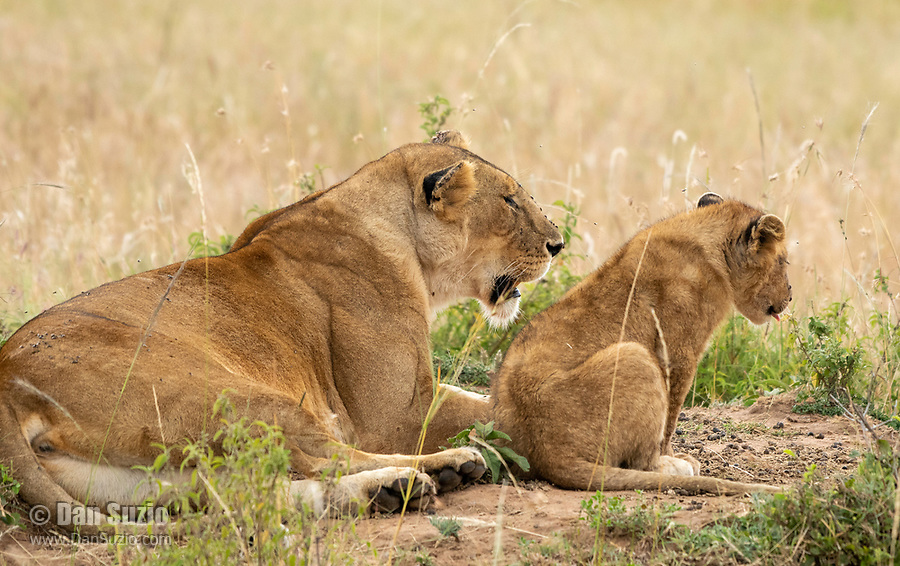 A female Lion, Panthera leo  melanochaita, with one cub in Maasai Mara National Reserve, Kenya