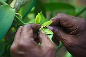 Mariage de la vanille, Lifou, Nouvelle-Calédonie