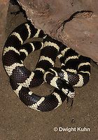 1R22-525z  California Kingsnake flicking tongue, Lampropeltis getulus californiae