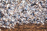Snow geese (Chen caerulescens) taking flight, Pocosin Lakes National Wildlife Refuge