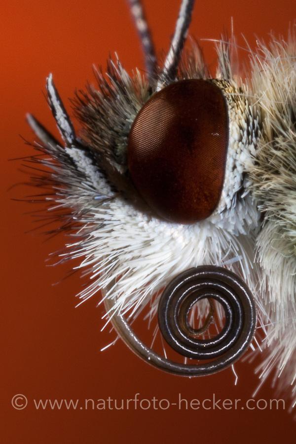 Schmetterling, Portrait mit saugenden Mundwerkzeug, Mundwerkzeuge, langer aufgerollter Saugrüssel zum saugen von Nektar, Kleiner Kohlweißling, Kleiner Kohlweissling, Rübenweißling, Pieris rapae, Artogeia rapae, Small White