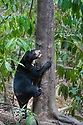 Bornean sun bear (Helarctos malayanus euryspilus) climbing at tree trunk at Bornean Sun Bear Conservation Centre (BSBCC), Sepilok, Sabah, Borneo. The world's smallest bear species.