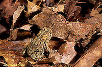 FR11-130z   American Toad - sitting on leaves, camouflaged - Anaxyrus americanus, formerly Bufo americanus