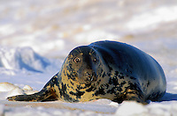 GRAY SEAL - cows search out ice floes or secluded beaches as birthing grounds..Northumberland Strait, Nova Scotia. Canada..(Halichoerus grypus).