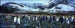 Plus d'une trentaine de colonies de manchots royaux sont recensées en Géorgie du Sud. Ici dans la baie de Fortuna, plusieurs milliers de couples serrés les uns contre les autres se dandinent au pied d'un immense glacier dans un brouhaha constant. Certains couvent leur oeuf, d'autres nourrissent leurs petits ou se lissent le plumage épais comme une fourrure. Georgie du sud. Terres Antarctiques..Fortuna Bay on the north coast of South Georgia. Adult king penguins (Aptenodytes patagonicus) with their striking black heads and orange-yellow patterning look quite different to their fluffy brown chicks.