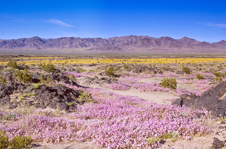 Sand Verbena & Desert Gold at Amboy Crater, CA, USA