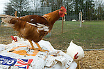 Free range cockerels Fosse Meadow Farm Leicestershire UK