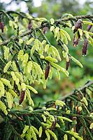 Picea orientalis 'Aurea'