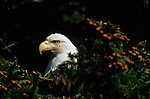 Portrait of a bald eagle perched in an evergreen tree in Southeast Alaska.