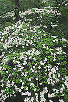 Flowering Dogwood (Cornus florida), blooming in forest view from canopy, Raleigh, Wake County, North Carolina, USA
