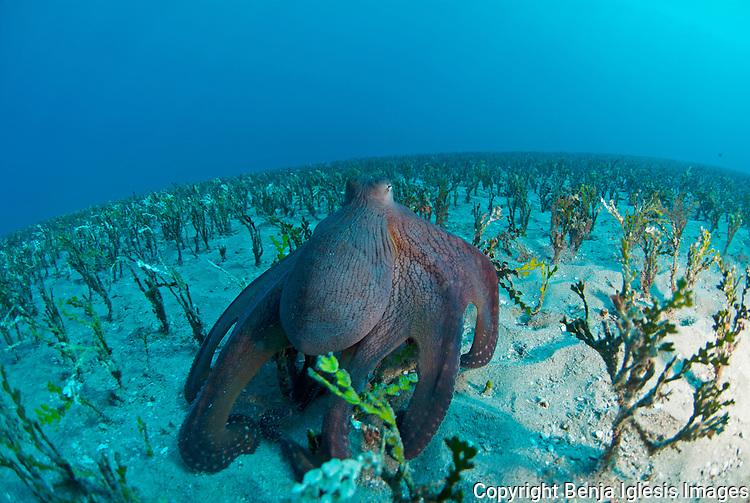 Day Octopus (octopus cyanea) over alamita grass Maui Hawaii.