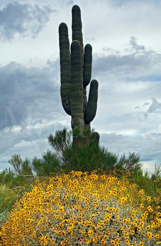 Saguaro Cactus with Brittlebush (Encelia farinosa) Picacho Peak State Park, Arizona