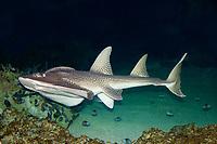 Bowmouth guitarfish, Rhina ancylostoma, Australia.