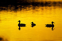freshwater, birds, silhouette of Mallard ducks on lake., mallard, Anas platyrhynchos