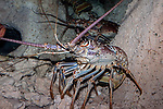 Spiny Lobster backed-up in coral cave medium shot