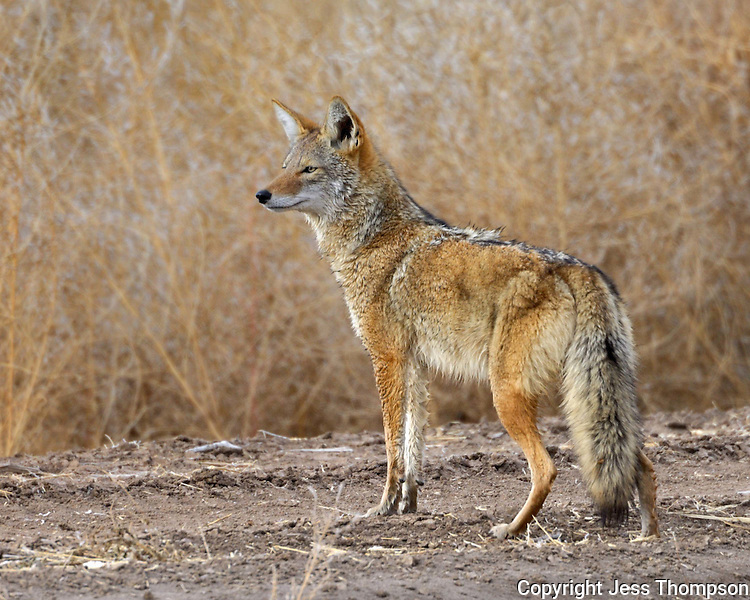 Coyote at Bosque del Apache National Wildlife Refuge