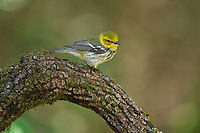 Black-throated Green Warbler (Dendroica virens), female, outh Padre Island, Texas, USA