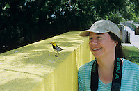 Black-throated Green Warbler, Dendroica virens,male on wall with birder watching, Convention Center, South Padre Island, Texas, USA, May 2005