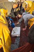 Europe/France/Provence-Alpes-Côte d'Azur/Alpes-Maritimes/Cagnes-sur-Mer: Péche à la senne de la Poutine //  Europe, France, Provence-Alpes-Côte d'Azur, Alpes-Maritimes, Cagnes sur Mer: Poutine, Gianchetti Seine fishing
