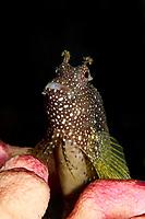 Starry Blenny (Salarius ramosus) (c)