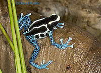 1023-07yy  Dendrobates tinctorius ñ Dyeing Poison Arrow Frog ñ Tincs Dart Frog © David Kuhn/Dwight Kuhn Photography
