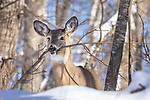White-tailed doe breaking off a small tree in a northern Wisconsin forest.