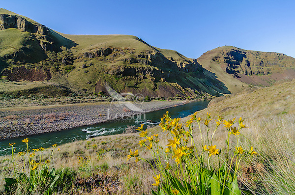 John Day River Canyon and balsamroot flowers about 1 1/2 to 2 miles upstream from 30 Mile Creek.  OR.