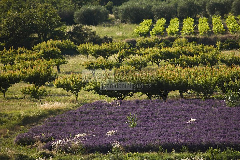 Europe/France/Rhône-Alpes/26/Drôme/Env de Nyons/Venterol: Champ de lavande et verger de péchers et d'oliviers