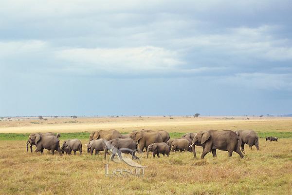 African Elephants--cow calf herd--crossing grasslands in Masai Mara, Kenya.