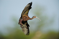 White-faced Ibis (Plegadis chihi), adult in flight, Fennessey Ranch, Refugio, Coastal Bend, Texas Coast, USA