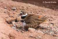 0510-1126  Killdeer, Adult Sitting on Eggs, Charadrius vociferus  © David Kuhn/Dwight Kuhn Photography