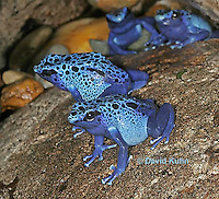 0929-07yy  Dendrobates azureus - Blue Poison Arrow Frog ñ Blue Dart Frog  © David Kuhn/Dwight Kuhn Photography