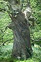Ancient sweet chestnut tree, Rousham House and Garden.