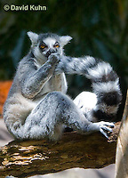 0303-1102  Ring-tailed Lemur, Lemur catta  © David Kuhn/Dwight Kuhn Photography