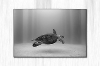Turtle under the Fredericksted Pier