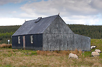 A currugated metal building with Scottish Blackface ewes and lambs, Stroanfreggan, Dumfries, Scotland......Copyright..John Eveson,.Dinkling Green Farm,.Whitewell,.Clitheroe,.Lancashire..BB7 3BN.Tel. 01995 61280.Mobile 07973 482705.j.r.eveson@btinternet.com.www.johneveson.com