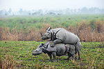 Male and female Great One-horned Rhinoceros (Rhinoceros unicornis) mating. Kaziranga National Park, Assam, India.