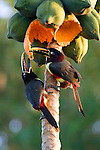 Collared Aracari, Pantanal, Brazil , Papaya (Carica papaya)
