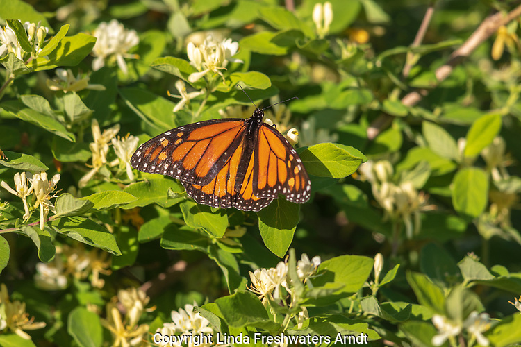 Monarch butterfly on Morrow's honeysuckle in northern Wisconsin.