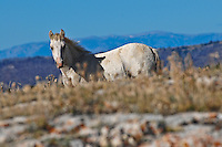 Wild horse colt looks over the rise with Montana blue skies behind him.
