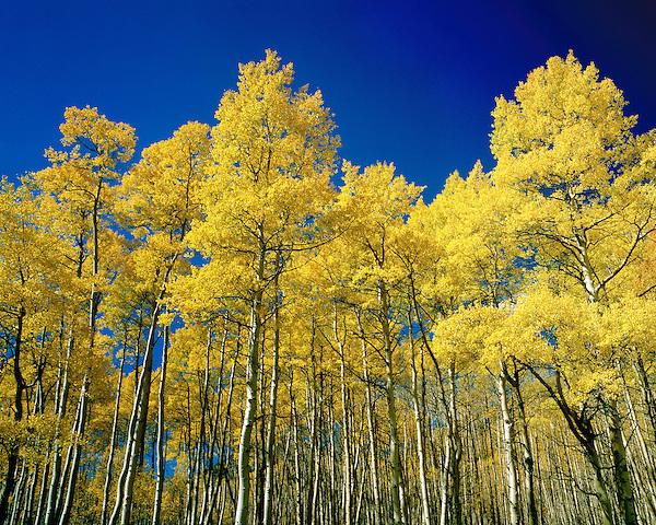 Autumn aspen trees, San Juan Mountains, Colorado, USA. .  John offers private photo tours and workshops throughout Colorado. Year-round.