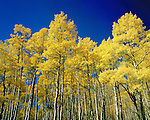 Autumn aspen trees, San Juan Mountains, Colorado, USA. .  John offers private photo tours and workshops throughout Colorado. Year-round.