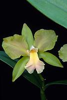 Rhyncolaeliocattleya aka Brassocattleya Green Dragoon (Harriet Mosley x C. bicolor)