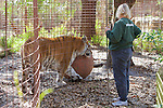 Staff & Tiger, Big Cat Rescueccc
