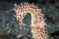Thorny seahorse (Hippocampus histrix). Lembeh Strait, Celebes Sea, North Sulawesi, Indonesia,
