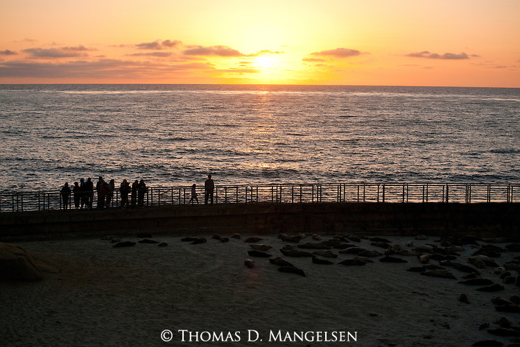 People watch harbor seals laying on the children's pool beach from the seawall at sunset in La Jolla, California.