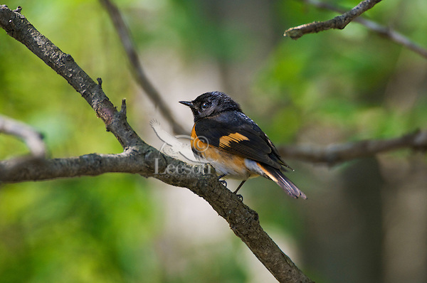 American Redstart (Setophaga ruticilla) male in breeding plumage rests in mixed forest along Lake Erie shoreline near Canada and USA border during annual spring migration.  One of the most numerous warblers in North America because its favored habitat is widely available second-growth woodland.