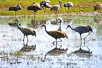Three Sandhill Cranes appear to be dancing in unison at Creamer's Field in Fairbanks, Alaska.