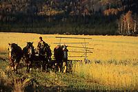 Draft horses in harness, grain field, Delta Junction, Alaska