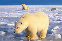polar bear, Ursus maritimus, curious cub on the pack ice with its sibling and mother in the background, 1002 area of the Arctic National Wildlife Refuge, Alaska, polar bear, Ursus maritimus